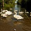 """Höckerschwäne (Cygnus olor) im Hohwasser, Altrhein bei Au am Rhein, Deutschland<br /> Mute Swan (Cygnus olor) in flood, Old Rhine near Au am Rhein, Germany<br /> - mehr dazu im Blog: <a href=""""http://arnohelfer.wordpress.com/2012/06/20/waschstrasse/"""">Waschstraße</a>"""