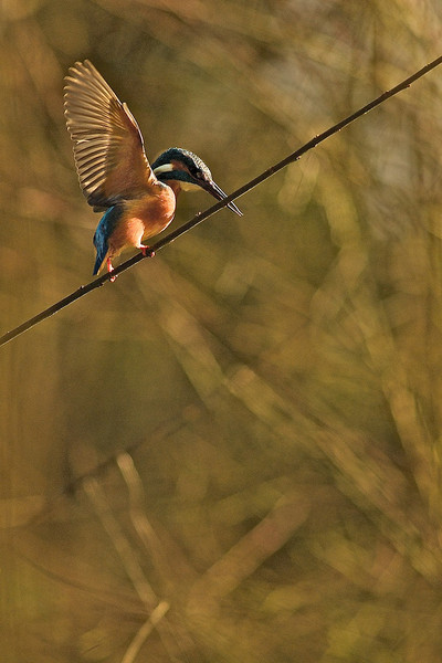 Rope dancer - Kingfisher<br /> Seiltänzer - Eisvogel (Alcedo atthis)