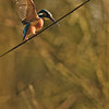 Rope dancer - Kingfisher<br /> Seiltänzer - Eisvogel (Alcedo atthis)