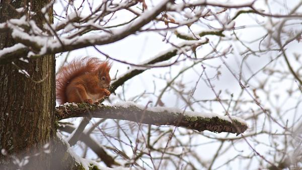 Eichhörnchen (Sciurus vulgaris),  Red squirrel - mehr dazu im Blog: Kleine Kunstturner