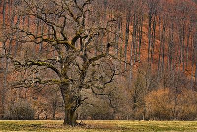 Old Tree I