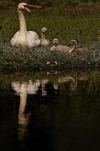 Höckerschwan-Familie Mute Swan Family  - mehr dazu im Blog: Ein Morgen am Altrhein
