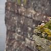 Papageitaucher (Fratercula arctica),<br /> Atlantic Puffin,<br /> Lundi - Látrabjarg, Vestfirðir