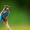 Common kingfisher (Alcedo atthis), Rheinauen - Germany