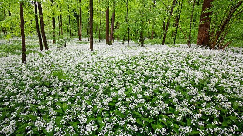 Bärlauch (Allium ursinum) im Rheinwald