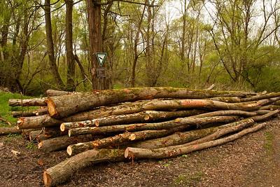 Abgeholzt  Cleared  - mehr dazu im Blog: Pappelwald - Rheinauen
