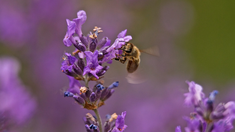 """Westliche Honigbiene (Apis mellifera) <br /> Western honey bee <br /> - mehr dazu im Blog: <a href=""""http://arnohelfer.wordpress.com/2011/06/18/haarige-angelegenheit/"""">Haarige Angelegenheit</a>"""