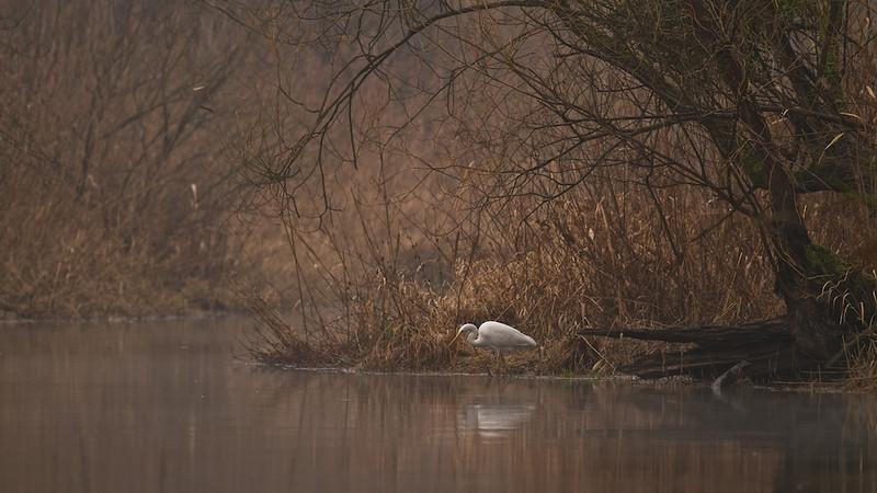 Silberreiher (Casmerodius albus) auf der Suche nach Beute, Rheinauen - Deutschland<br /> Great Egret looking for prey, Rheinauen - Germany