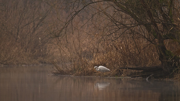 Silberreiher (Casmerodius albus) auf der Suche nach Beute, Rheinauen - Deutschland Great Egret looking for prey, Rheinauen - Germany