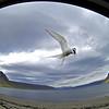 Arctic Tern, Küstenseeschwalbe (Sterna paradisaea)<br /> <br /> Island, Westfjorde - Küstenseeschwalben sind Bodenbrüter und verteidigen ihr Nest auch gegen vorbeifahrende Autos. Aufnahme durch das geöffnete Seitenfenster.<br /> <br /> Iceland, Westfjords - Arctic Terns are ground-nesting birds and defend their nest also against passing cars. Shot through the open side window.