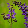 """Wiesensalbei<br /><br />  Salvia pratensis<br /><br />  - mehr dazu im Blog: <a href=""""http://arnohelfer.wordpress.com/2013/05/26/wildblumenwiese/"""">Wildblumenwiese</a>"""