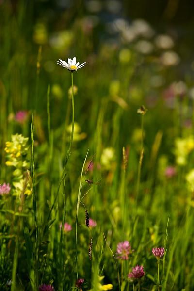 """Margerite am Hochwasserdamm,  (Leucanthemum vulgare)<br /><br />  White Ox-eye daisy flower at the flood dam<br /><br />  - mehr dazu im Blog: <a href=""""http://arnohelfer.wordpress.com/2013/06/03/der-braune-rhein/"""">Der braune Rhein</a>"""