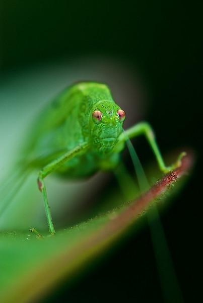Sichelschrecke - Phaneroptera falcata