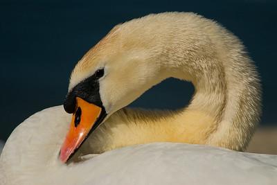 Höckerschwan  (Cygnus olor) Mute Swan