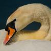 Höckerschwan  (Cygnus olor)<br /> Mute Swan