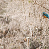 "Ansitz - Eisvogel (Alcedo atthis) auf der Jagd - Altrhein,mittlerer Oberrhein, Deutschland <br /><br />  Common Kingfisher looking for prey - Old Rhine, Middle Upper Rhine, Germany <br /><br /> - mehr dazu im Blog: <br /><a href=""http://arnohelfer.wordpress.com/2012/11/30/rheinauen-kalender-2013-2/"">Rheinauen Kalender 2013</a><br />"