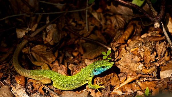 Östliche Smaragdeidechse  (Lacerta viridis) European green lizard