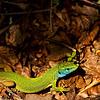 Östliche Smaragdeidechse  (Lacerta viridis)<br /> European green lizard