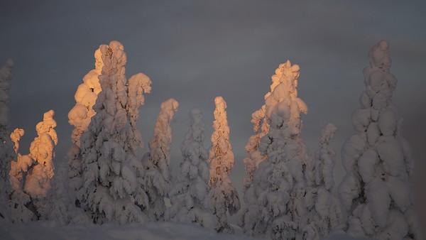 Kerzenfichten bei Vittjåkk - Arvidsjaur,  Lappland, Schweden  Candle spruces near Vittjåkk - Arvidsjaur,  Lapland, Sweden - mehr dazu im Blog: Winter in Lappland