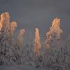 "Kerzenfichten bei Vittjåkk - Arvidsjaur,  Lappland, Schweden<br /><br />  Candle spruces near Vittjåkk - Arvidsjaur,  Lapland, Sweden<br /><br /> - mehr dazu im Blog: <br /><a href=""http://arnohelfer.wordpress.com/2013/01/06/winter-in-lappland/"">Winter in Lappland</a><br />"