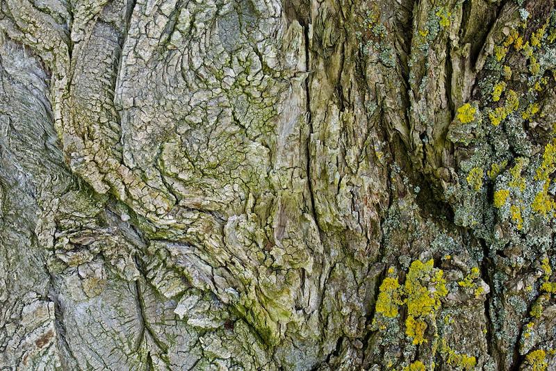 Rinde einer Schwarz-Pappel (Populus nigra)<br /> <br /> Bark of a Populus nigra