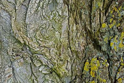 Rinde einer Schwarz-Pappel (Populus nigra)  Bark of a Populus nigra