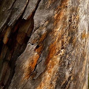 Detail eines uralten Waldkiefer (Pinus sylvestris) - Hede Urskog, Härjedalen, Schweden  Detail of a very old Scots Pine - Hede Urskog, Härjedalen, Sweden  - mehr dazu im Blog: Uralt - Waldkiefern im DetailHede Urskog - Kiefernurwald in Schweden