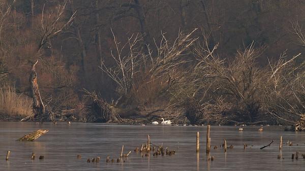 Umgestürzte Silber-Weiden (Salix alba) - Fermasee, Rheinstetten, Deutschland  fallen Salix alba - Fermasee, Rheinstetten, Germany - mehr dazu im Blog: Vergänglich