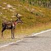 """Rentier <br /> Reindeer <br /> mehr dazu im Blog: <a href=""""http://arnohelfer.wordpress.com/2011/04/06/reiseziele-in-schweden/"""">Reiseziele in Schweden</a>"""