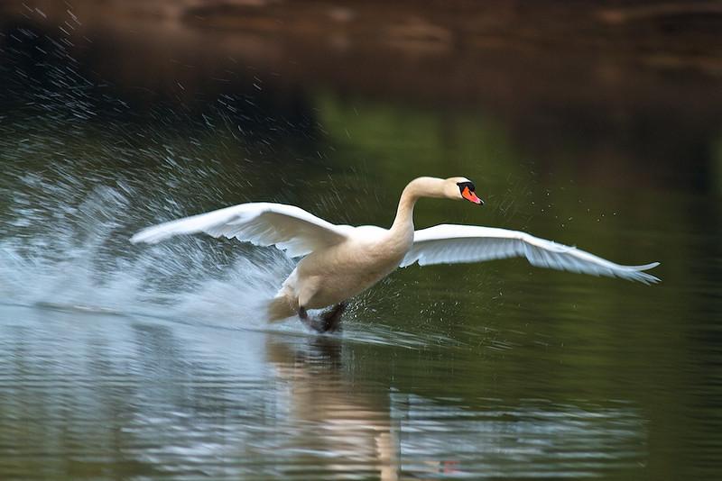 """Landemanöver eines Höckerschwans (Cygnus olor)<br /> Landing maneuver of a Mute Swan<br /> mehr dazu im Blog: <a href=""""http://arnohelfer.wordpress.com/2011/08/22/der-dschungel-am-oberrhein/"""">Der Dschungel am Oberrhein</a>"""