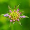 """Acker-Witwenblume<br /><br />   Knautia arvensis<br /><br />  - mehr dazu im Blog: <a href=""""http://arnohelfer.wordpress.com/2013/05/26/wildblumenwiese/"""">Wildblumenwiese</a>"""