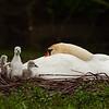 Schwanen-Mama mit Nachwuchs