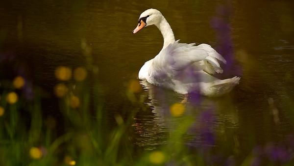 Höckerschwan im braunen Hochwasser  Mute Swan in brown flood  - mehr dazu im Blog: Der braune Rhein