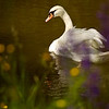 """Höckerschwan im braunen Hochwasser<br /><br />  Mute Swan in brown flood<br /><br />  - mehr dazu im Blog: <a href=""""http://arnohelfer.wordpress.com/2013/06/03/der-braune-rhein/"""">Der braune Rhein</a>"""