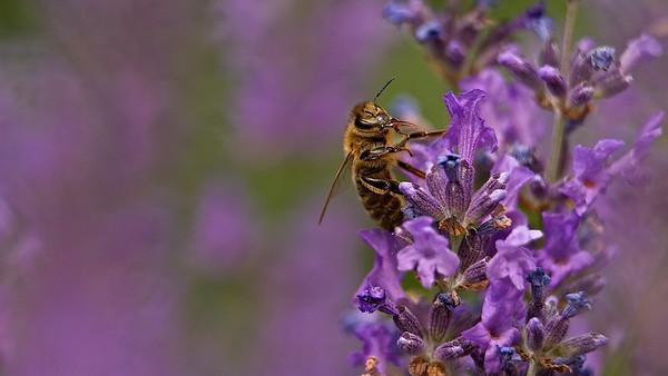 Westliche Honigbiene (Apis mellifera)  Western honey bee  - mehr dazu im Blog: Haarige Angelegenheit