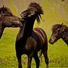 Islandpferde,<br /> Icelandic horse