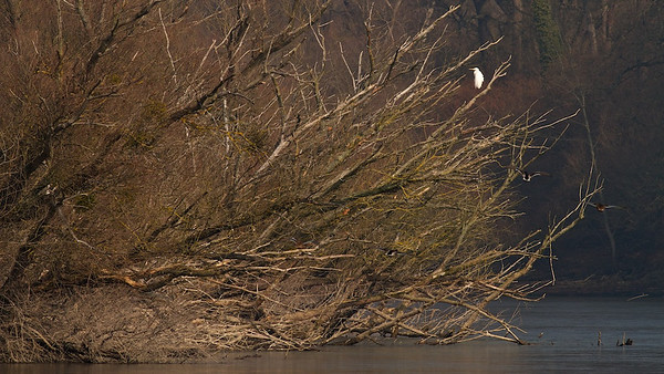 Silberreiher (Casmerodius albus) auf alten, umgestürzten Silber-Weiden (Salix alba) - Fermasee, Rheinstetten, Deutschland  Egret on an old, fallen Salix alba - Fermasee, Rheinstetten, Germany - mehr dazu im Blog: Vergänglich