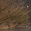 """Silberreiher (Casmerodius albus) auf alten, umgestürzten Silber-Weiden (Salix alba) - Fermasee, Rheinstetten, Deutschland<br /><br />  Egret on an old, fallen Salix alba - Fermasee, Rheinstetten, Germany<br /><br /> - mehr dazu im Blog: <br /><a href=""""http://arnohelfer.wordpress.com/2013/04/10/vergaenglich/ """">Vergänglich</a><br />"""