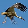 """Junger Weißstorch im Flug (Ciconia ciconia), Rheinauen am mittleren Oberrhein bei Elchesheim-Illingen, Deutschland<br /> Young White Stork in Flight, Germany<br /> - mehr dazu im Blog: <a href=""""http://arnohelfer.wordpress.com/2012/07/07/flugpremiere-der-jungstorche/"""">Flugpremiere der Jungstörche</a>"""