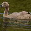 """Höckerschwan-Baby<br /> Mute Swan Baby <br /> - mehr dazu im Blog: <a href=""""http://arnohelfer.wordpress.com/2011/06/05/ein-morgen-am-altrhein/"""">Ein Morgen am Altrhein</a>"""