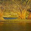 """Silber-Weiden (Salix alba) im ersten Sonnenlicht - Fermasee, Rheinstetten, Deutschland<br /><br />  Salix alba in first sunlight - Fermasee, Rheinstetten, Germany<br /><br /> - mehr dazu im Blog: <br /><a href=""""http://arnohelfer.wordpress.com/2013/04/10/vergaenglich/ """">Vergänglich</a><br />"""