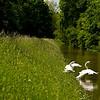 """Höckerschwäne am Hochwasserdamm<br /><br />  Mute Swans on flood dam<br /><br />  - mehr dazu im Blog: <a href=""""http://arnohelfer.wordpress.com/2013/06/03/der-braune-rhein/"""">Der braune Rhein</a>"""
