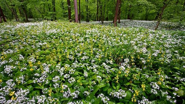 Bärlauch (Allium ursinum) und Goldnessel (Lamium galeobdolon) im Rheinwald