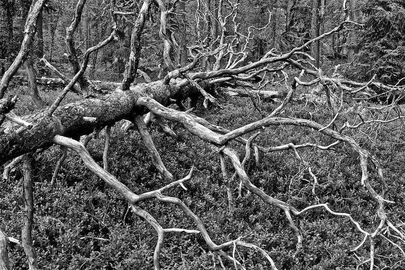 Pine Forest, Härjedalen - Sweden