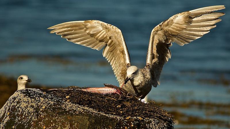 Möwe zerlegt Fisch - Norwegen
