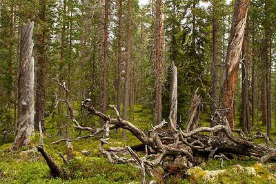 Kiefernurwald Hede Urskog - Härjedalen,  Schweden Pineforest Hede Urskog - Härjedalen, Sweden - mehr dazu im Blog: Uralt - Waldkiefern im DetailHede Urskog - Kiefernurwald in Schweden