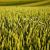 """Weizenfeld (Triticum) mit rotem Farbklecks, Enzkreis, Deutschland<br /> - mehr dazu im Blog: <a href=""""http://arnohelfer.wordpress.com/2012/07/03/klatschmohn/"""">Klatschmohn</a>"""