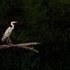 Graureiher<br /> Grey Heron