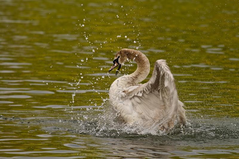 Junger Höckerschwan<br /> Young mute swan