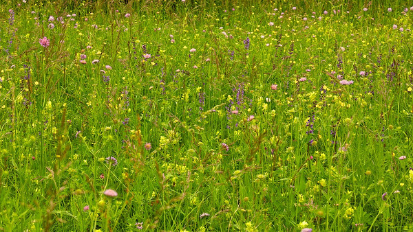 Wildblumenwiese  Wildflower meadow  - mehr dazu im Blog: Wildblumenwiese